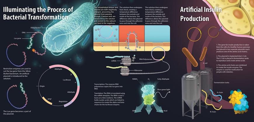 Biomedical Art student work by Robert Pigza