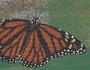 kingofbutterflies2.jpg